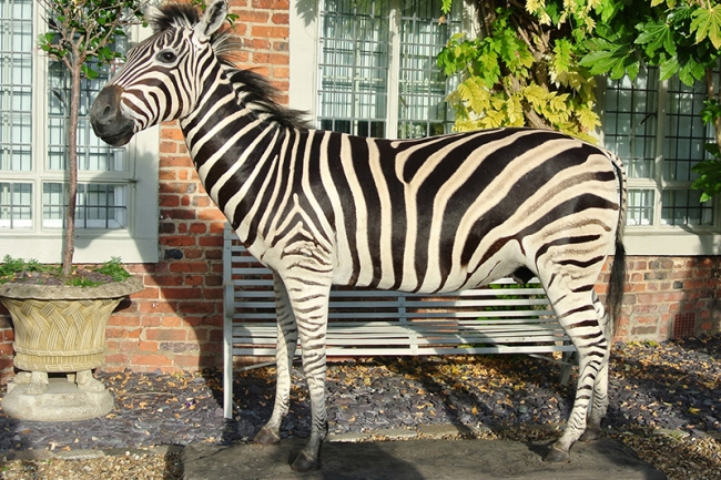 A taxidermy full mount Burchell's zebra. Price realised £4,950.