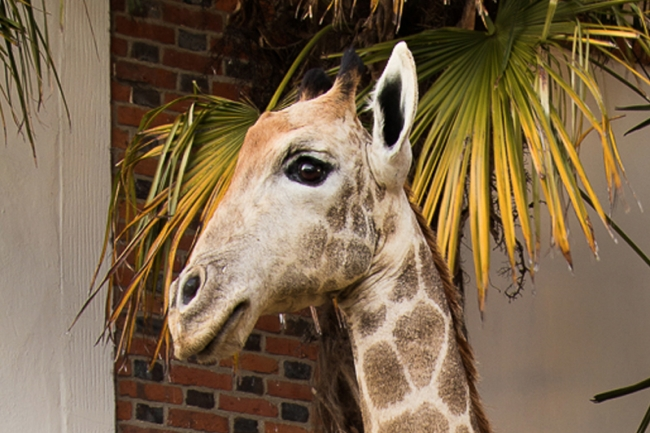 A 13ft tall full mount taxidermy Giraffe. Price realised £10,000.