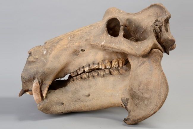 A 19th century Hippopotamus skull from the Regimental Collection of the Queen's Royal Hussars. Price realised £2,500.