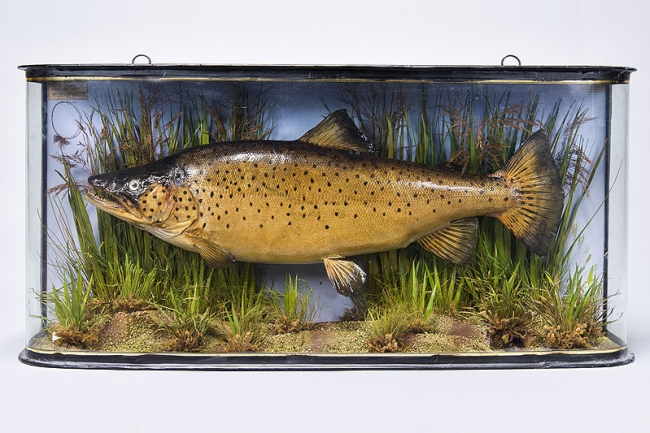 A 19th century taxidermy cased Trout by John Copper & Sons. Price realised £1,000.
